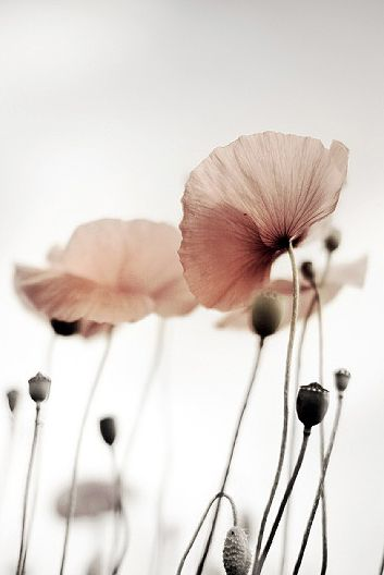 Pink Poppies | Colour