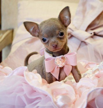 Micro Teacup Blue Chocolate Chihuahua Found a Loving Family in Texas!