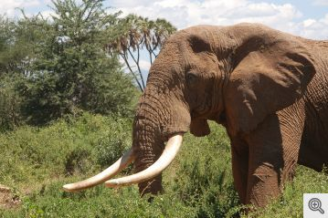 Nuke test radiation can fight poachers: age and legality of ivory revealed by carbon-14 dating