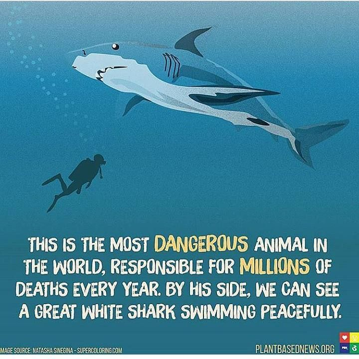 For every human killed by a shark two million sharks are killed by humans #environment #planetearth #renewables #renewableenergy #sustainableliving #stopanimalcruelty #stopoil #stopfossilfuels #humanrights #environmentalist #politics #america #greatbritain #wales #plasticwaste #saveouroceans #saveourplanet #climatechange #globalwarming #earth #science #geography #political #recycle #wildlife #conservation #endangered #future