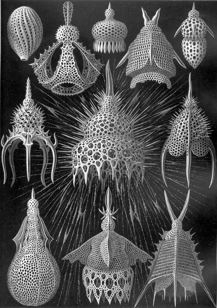 Mriežkovce, morské jednobunkové organizmy.