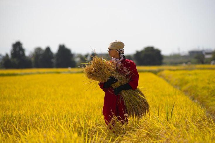 Voglio fare la contadina. Sono 10mila le giapponesi che gestiscono attività agricole. Le foto: http://intern.az/1may