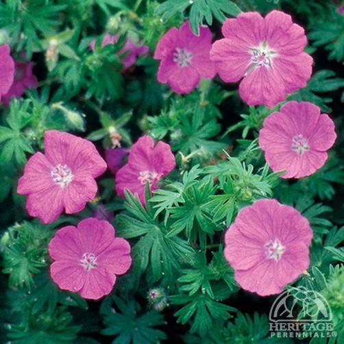 geranium sanguineum new hampshire purple bloeiperiode. Black Bedroom Furniture Sets. Home Design Ideas