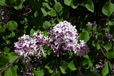 What Is A Dwarf Lilac Tree: Types Of Dwarf Lilacs For The Landscape