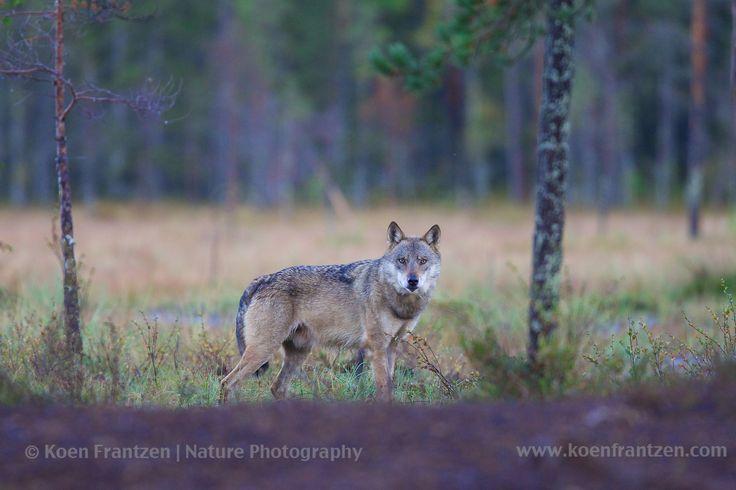 Wolf (Canis lupus lupus) in Finland.    koenfrantzen.com