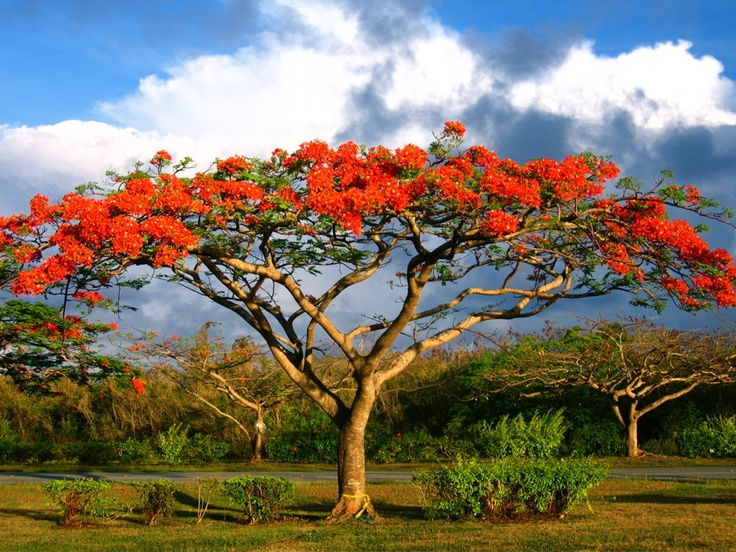 Saipan Flame Tree Festival held in April | Sai-what ...