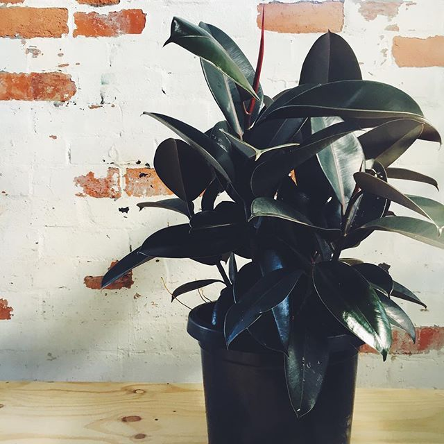 The ficus elastica, more commonly known as the rubber tree ranks as one of the best plants for purifying the air. It's back in stock on 30cm pots sitting 90cm high $75ea Open today 10-4