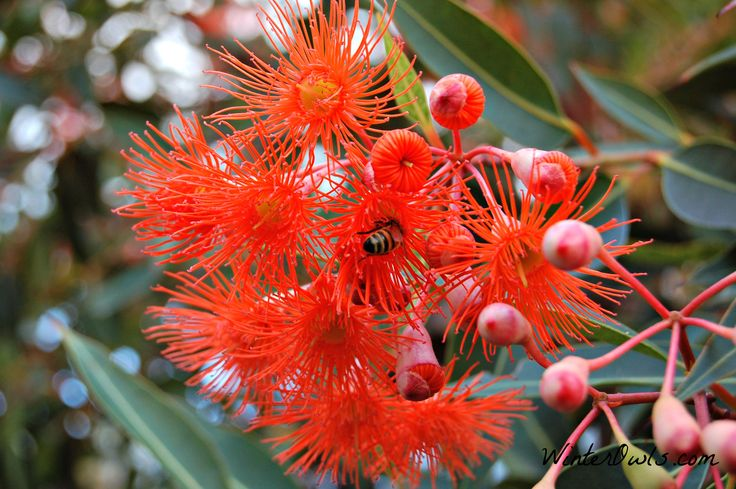 Image result for australian flowers pictures