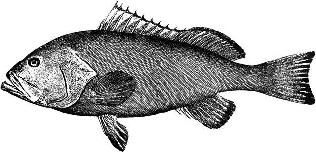 Red Grouper Clipart Etc Vintage Illustration Engraving Illustration Illustration