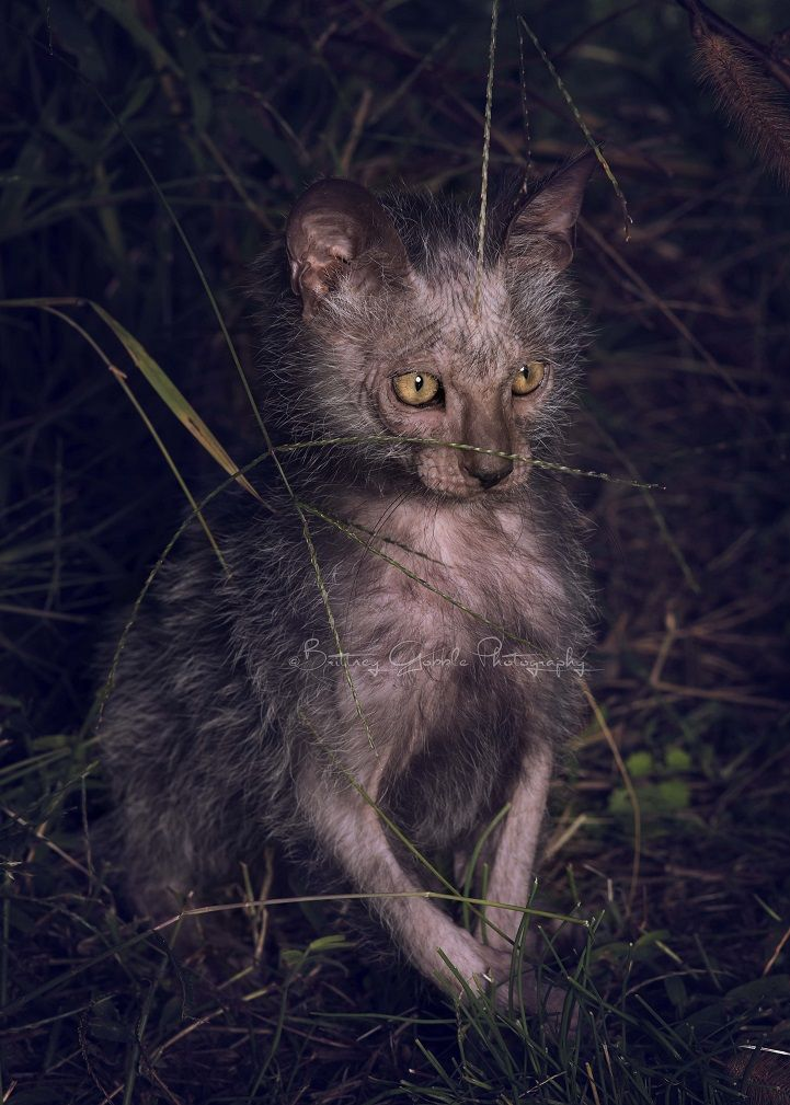 The Lykoi is a brand new breed of cat that is gaining worldwide recognition for its odd werewolf-esque appearance.