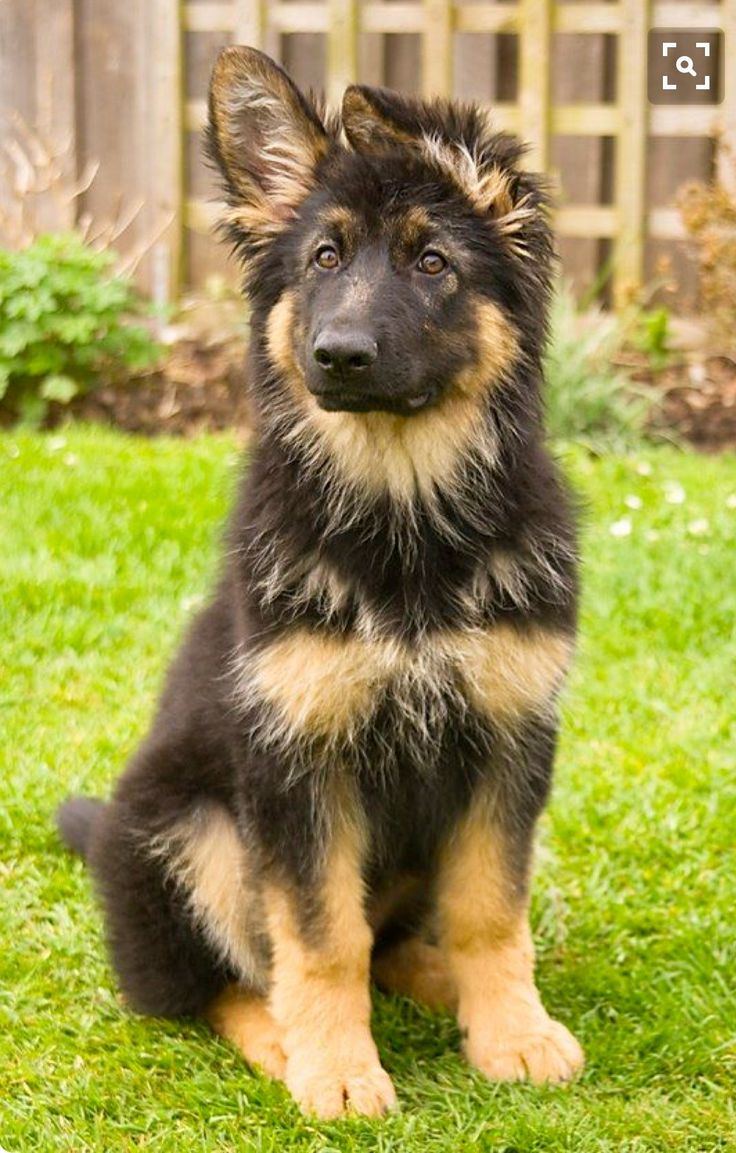 Medium Of Do German Shepherds Shed