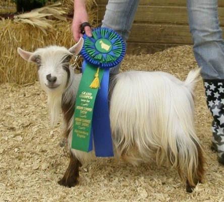 Miniature silky fainting goat...bahaha one day...I will have one.Fainting Goats Bahaha, Silky Fainting, Miniatures Silky, Farms Animal, Country Life, Miniatures Donkeys, Mimi Menagerie, Things Country, Animal Domestic