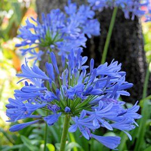 The Dirty Gardener Agapanthus Africanus African Lily Peter Pan Flowers