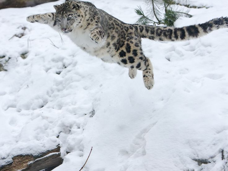 The snow leopard is a moderately large cat native to the mountain ranges of Central Asia.