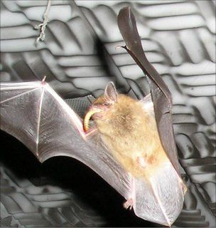 Bats eavesdrop to learn to hunt - Natural World ...