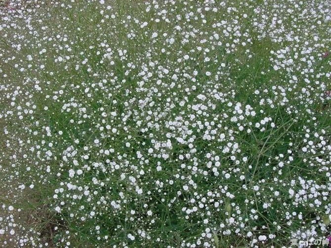 White Gypsophila