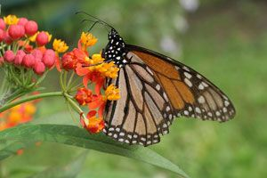 How to Bring Monarch Butterflies Back to Your Yard and Garden on http://www.hortmag.com