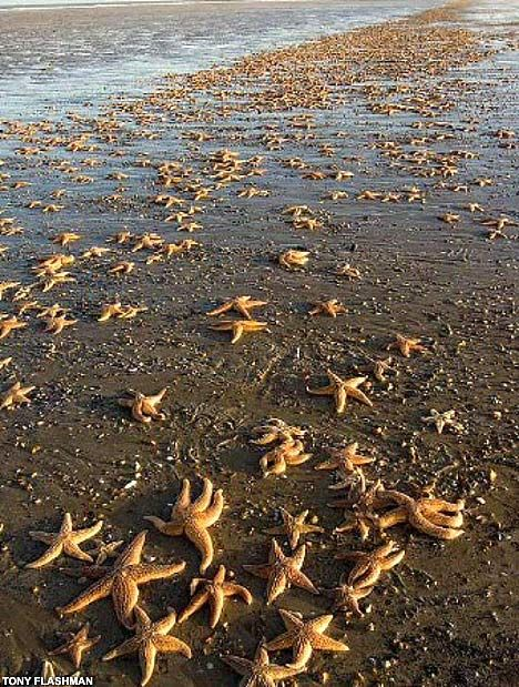 A Constellation of Starfish: Starmageddon, as thousands of starfish washed up onto the coastline in Kent, England in march, 2008. Massive starfish 'wrecks' are not uncommon in England but not of this magnitude. Experts believe the cause may be due to intensive fishing for mussels and subsequent depletion of starfish food supply. via David Derbyshire, dailymail.co.uk #Starfish #Kent_England #David_Derbyshire #dailymail
