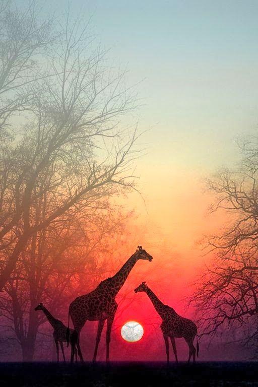 Giraffes in the Sunset, Masai Mara National Park, Kenya, Africa.