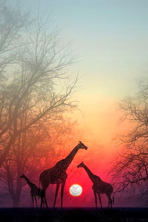 Giraffes in the Sunset, Masai Mara National Park, Kenya, Africa. Kudos to the photographer! Thank You! Buster's Vision Nonprofit, Inc.