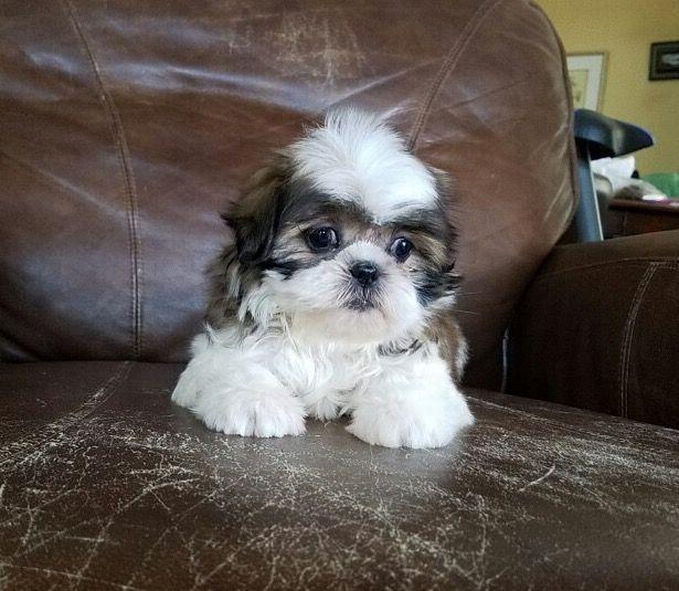 Shih Tzu Puppy For Sale In Los Angeles Ca Adn 31902 On Puppyfinder Com Gender Female Age 8 Weeks Old Shih Tzu Baby Shih Tzu Shih Tzu Puppy