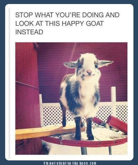 the cutest goat ever...I need it now! I cant get over its cuteness