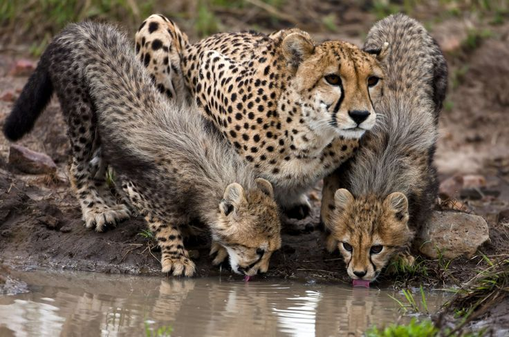 International Cheetah Day - in pictures