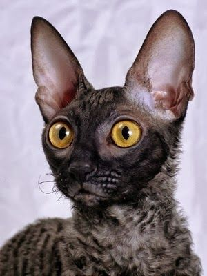 10 Interesting Facts about Cornish Rex Cats Click the picture to read