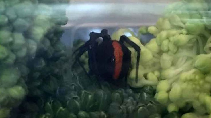 A shocked Townsville woman discovered a redback spider in a head of broccoli she bought from a supermarket.