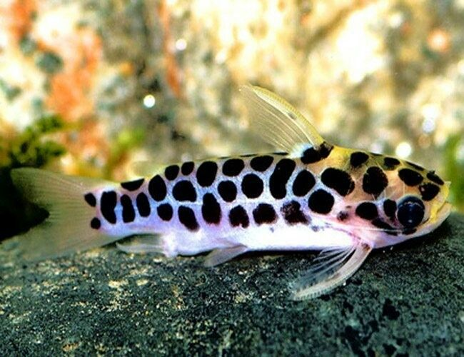Honeycomb Catfish Freshwater Catfish Aquarium Catfish Catfish