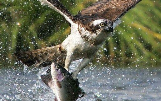 Golden Eagle animals birds raptor predator flight