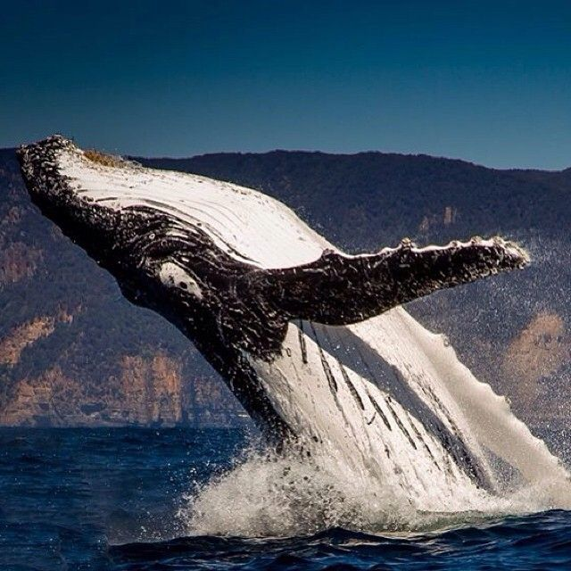 During October and November, Humpback Whales head south past Tasmania to their summer feeding grounds. This amazing photo is thanks to the team at @ pennicottjourneys. #humpback #whales #tasmania #discovertasmania
