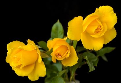 The meaning of a yellow rose stands for joy and happiness, but most of all yellow roses mean friendship. The meaning of yellow roses are very special because it's asociated with true friendship. A true friend is so important to people of all ages; it's like a gift from God.