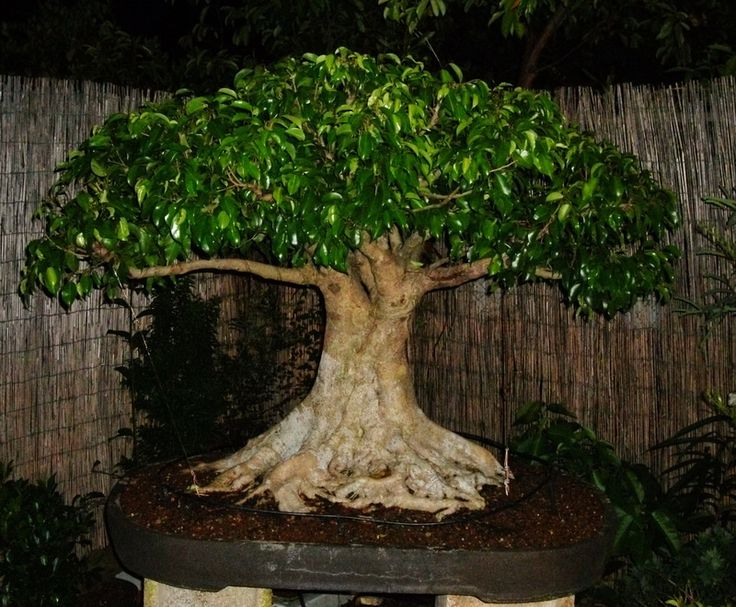 25 sch ne bonsai ficus ideen auf pinterest bonsai bonsai wald und bonsai. Black Bedroom Furniture Sets. Home Design Ideas