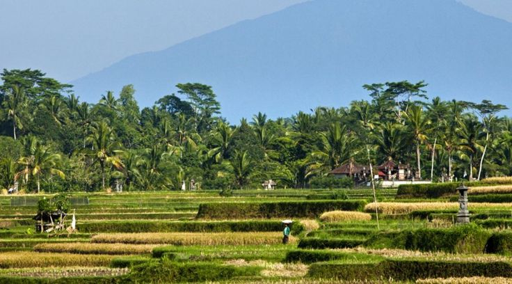 Luxurious Resort with Traditional Culture Touch : Green Scenery Of Ubud Field