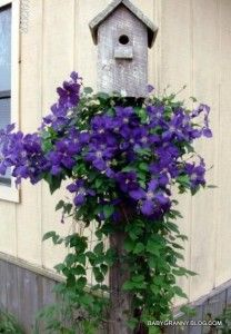 Clematis: plant one at every post with a birdhouse on top...great fence idea