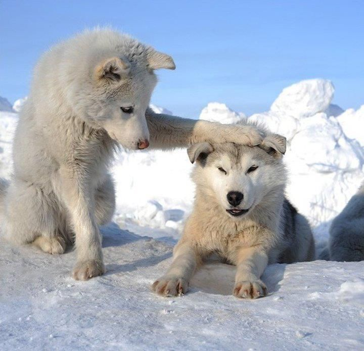 cute wolves- even though they are wolves, I'd I'd definitely adopt then as dogs