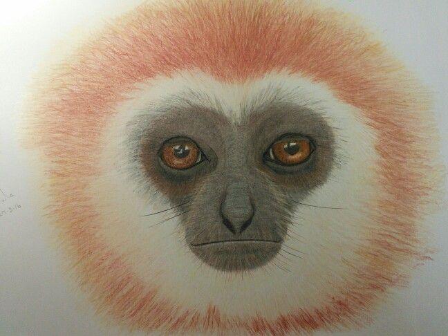 'Maynard' coloured pencil drawing of a gibbon by Lynda Colley Originals