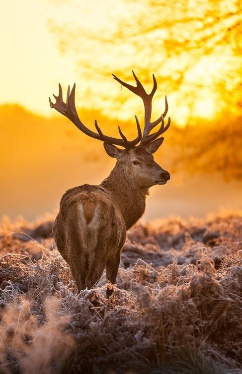 Red Deer ~ by Arturas Kerdoras on 500px