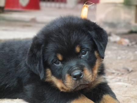 cute rott puppy