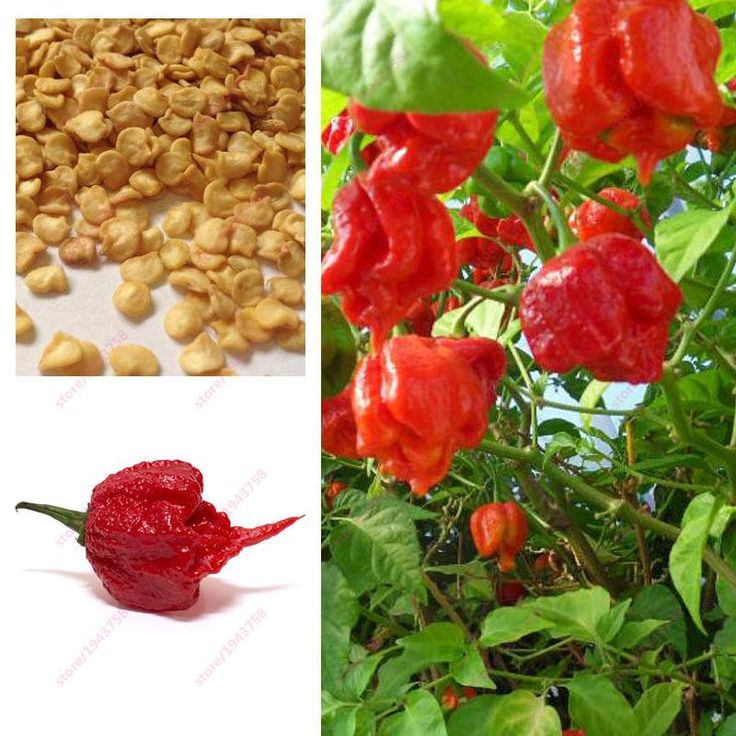 200pcs Carolina Reaper Pepper seeds- Capsicum Chinense - The worlds HOTTEST Chilli Pepper seeds - Bonsai Vegetable Seeds - Extre