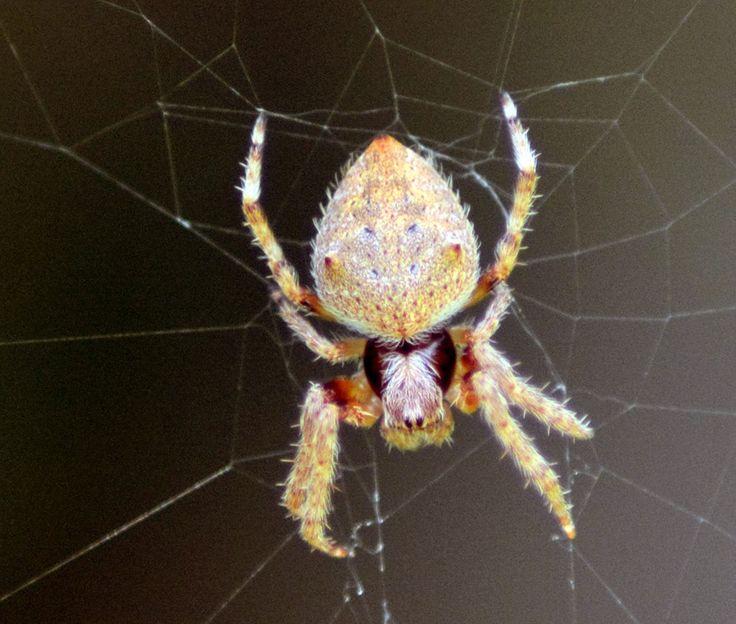 Large Spider - InfoBarrel Images