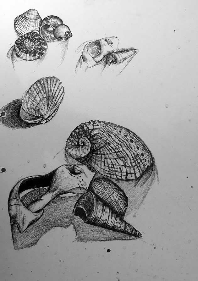 These graphite pencil drawings of shells were completed from observation. Observational studies such as this should form an integral part of an International GCSE Art sketchbook project.