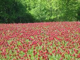 Trifolium Incarnatum (crimson clover) - cover crop, nitrogen fixing, plant oct 1- nov 15 in florida (winter cover for FL), annual.