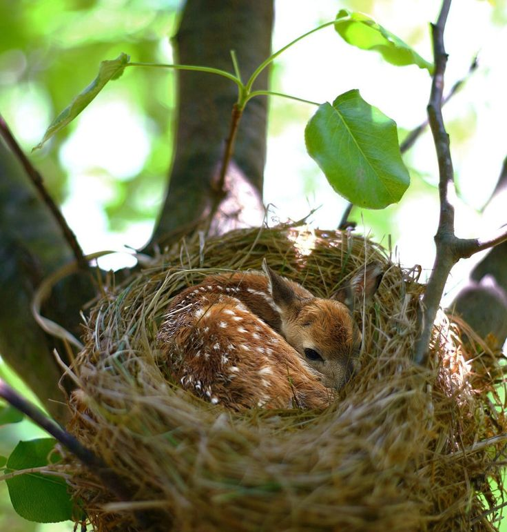 A baby Fawn in a Birds' Nest.
