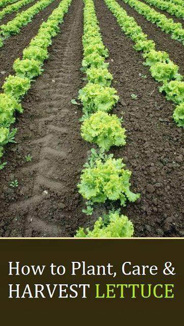 How To Plant Care Harvest Lettuce Alternative Gardening Plant Care Plants And Gardens