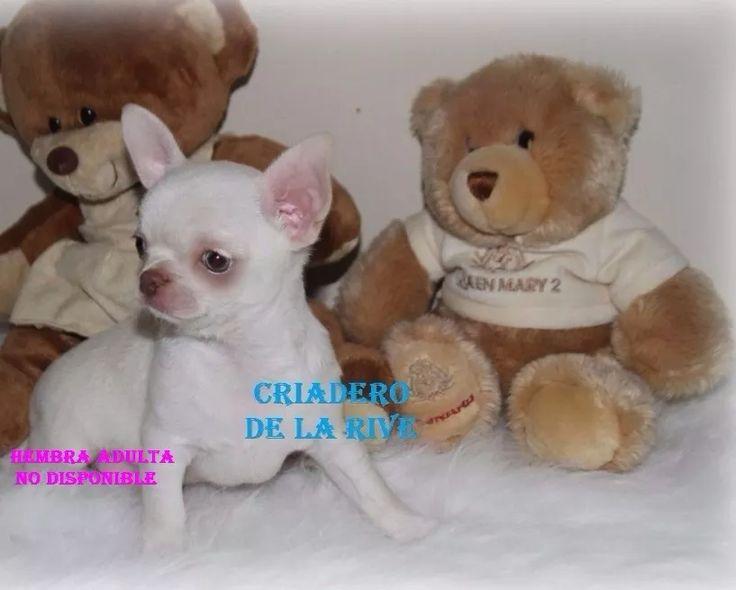 Hermosos Cachorros Chihuahua Cabeza De Manzana Mini - $ 9,000.00 en Mercado Libre