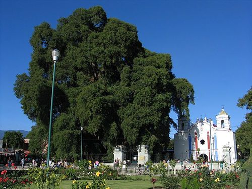 Tule Tree next to a church: Árbol Del, Tule Trees, Trunks, Big Trees, Montezuma Cypress, Del Tule, The World, Cool Trees, The Roots