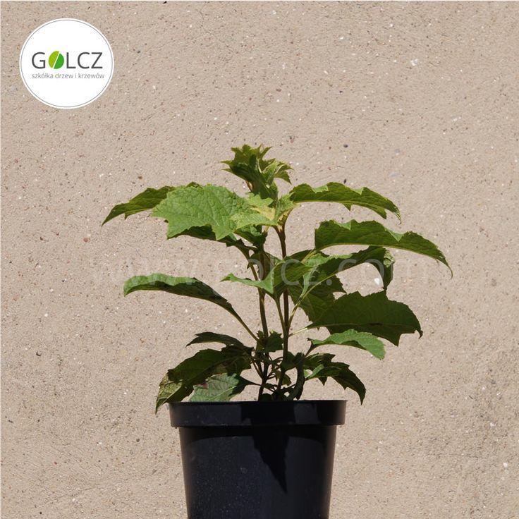 Eichenblättrige Hortensie. Der neue Geheimtipp für Hortensienfreunde!  Weitere Informationen: Baumschule in Polen für Sträucher, Bäume und Ziergehölze ✓  Produktion von Alleebäumen, Gartengewächsen, Koniferen, Laubsträuchern ✓  100% gesunde Pflanzen