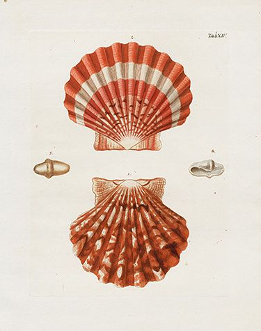 George Wolfgang Knorr Seashell Prints 1757